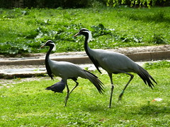 Demoiselles de Numidie (Mhln) Tags: ménagerie zoo zoologique parc park paris france 2019 animaux sauvages préservation