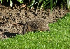 Hedgehog release (hedgehoggarden1) Tags: hedgehog mammal animal nature wildlife sonycybershot creature norfolk eastanglia uk sony