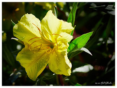 After the Shower (Bob Shrader) Tags: mft olympusem1markii 105mmf28 microfourthirds northamerica 105mm raw 13200sec texas austin f28 mirrorless m43 200iso unitedstates nature plant flower blossom silverleafprimrose bigfruiteveningprimrose eveningprimrosefamily oenotheramacrocarpasspincana onagraceae silverleaf‰primrose‰ landmarks garden ladybirdjohnsonwildflowercenter botanicgardenoftexas unitedstatesofamerica america us usa em1markii adaptedlens sigmadgex105mmf28macro fourthirdsmountlens sigma105mmf28macro adapter olympusfourthirdsadaptermmf3 closeup macro outdoors exterior shallowdof bokeh water drops phaseone captureonepro12 alienskin exposurex4 colorfilmsslide kodakkodachrome25sharp fauxfilm colorslidefilm photoborder photoedge photoframe postprocessing preset silverleafâprimroseâ