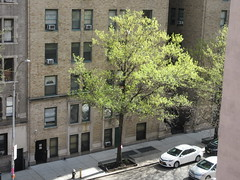 Easter Morning Green Spring Leaves on Tree 6666 (Brechtbug) Tags: easter morning green spring leaves tree 45th street between 8th 9th avenues looking out front window nyc 04212019 small shadow weather car parking lot hell s kitchen clinton new york city midtown manhattan 2019 leaf growing sunlight