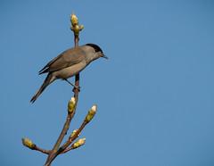 Male Blackcap (nathian brook) Tags: ukbirds britishbirds ukwildlife yorkshire