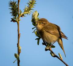 Chiffchaff (nathian brook) Tags: ukbirds britishbirds ukwildlife yorkshire