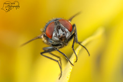 Fly close-up (Amanda Blom Photography) Tags: fly geel yellow yellowbackground nature natuur naturelover naturephotographer naturepicture naturephoto natuurfoto naturephotography natureptohography naturelove macro macrophotography macrophoto macroworld closeup insect