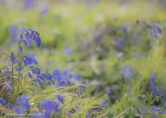 Easter bluebells (frattonparker) Tags: btonner bokeh isleofwight lightroom6 nikkor105mmdf2dc nikond610 prime raw frattonparker bluebells