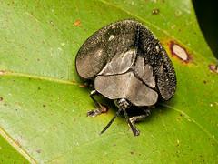 Stolas stolida (Eerika Schulz) Tags: stolas stolida beetle tortoise käfer schildkäfer ecuador puyo eerika schulz