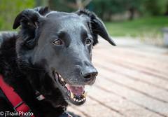 Easter Beagle (jtrainphoto) Tags: dog dogportrait canon blackdog bixby