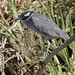 Yellow-crowned Night-Heron, Nyctanassa violacea Ascanio_Best Costa Rica 199A8203