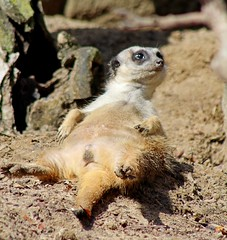 Happy Easter from this lazy meerkat.  It looks like he is chillin after a big Easter dinner. (anneescott) Tags: meerkat animal funny lazy chillin toledozoo happyeaster