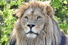 African lion - Olmense Zoo (Mandenno photography) Tags: animal animals african lion lions leeuw leeuwen olmense olmensezoo olmen bigcat big cat cats belgie belgium zoo dierenpark dierentuin dieren nature natgeo ngc natgeographic