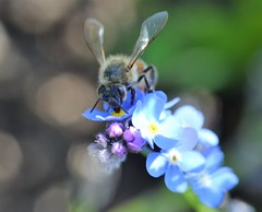 honey bee on myosotis (conall..) Tags: closeup raynox dcr250 macro nikon afs nikkor f18g lens 50mm prime primelens nikonafsnikkorf18g botanic park belfast southbelfast northernireland bee honeybee apis mellifera apismellifera pollination flower myosotis forgetmenot