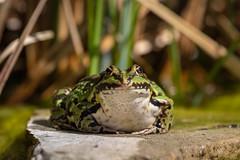 Frosch am Gartenteich (Jana`s pics) Tags: frosch frog teich pond garten garden tiere animals amphibien amphibian nature natur naturfotografie naturephotography wildlife wildlifephotography spring frühling