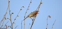 Robin J78A0028 (M0JRA) Tags: robins rspb blacktoft sands birds flying people ponds lakes trees walks marsh harrier adwick washland