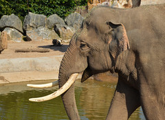 Asian Elephant (Elephas maximus) (Seventh Heaven Photography) Tags: asian elephant indian male bull animal mammal elephasmaximus elephas maximus aungbo chester zoo cheshire england tusks water rocks sand