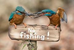 Eisvogel mit schleimigem Fisch / Kingfisher with a slimy fish. (@Thomas Neuber) Tags: switzerland alcedoatthis kingfisher eisvogel colorful highres nikond850 nikon600mmf4gvr natur wildlife bird vogel murtensee slimyfish