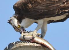DSC_0307-001 (tracie7779) Tags: fishhawk huntingtonbeach pandionhaliaetus seahawk sunsetaquaticmarina westernosprey bird hawk osprey predation