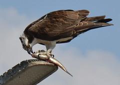 DSC_0299 (tracie7779) Tags: fishhawk huntingtonbeach pandionhaliaetus seahawk sunsetaquaticmarina westernosprey bird hawk osprey predation