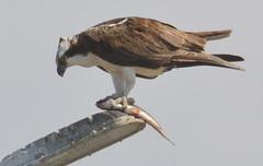 DSC_0291 (tracie7779) Tags: fishhawk huntingtonbeach pandionhaliaetus seahawk sunsetaquaticmarina westernosprey bird hawk osprey predation