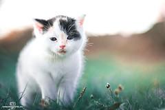 Kitten (einhundertstel.eu) Tags: kitten cat animal outdoor outside green nature cute grass