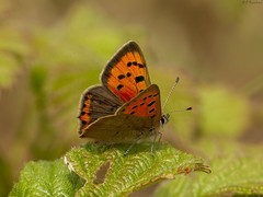 small copper (roly2008.) Tags: butterfly lepidopters insect wildlife canon 1dmkiv 100400mmmkii smallcopper