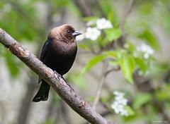 Brown-Headed Cowbird (swmartz) Tags: nikon nature newjersey wildlife outdoors birds brown cowbird mercercounty april 200500mm 2019 d610