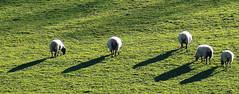 D21032.  Safely grazing sheep (Ron Fisher) Tags: polesdenlacey surrey surreyhills england southernengland gb greatbritain uk unitedkingdom europe europa countryhouse nationaltrust panasonic lumix fz1000 panasoniclumixfz1000 grass meadow sheep animal countryestate farm farmanimals
