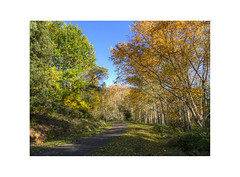 Autumn (jen 3163) Tags: dandenongranges autumn fall birches
