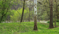 Riverine Forest (6) (Nicholas_T) Tags: pennsylvania columbiacounty southcentretownship columbiapark susquehannariver forest trees deciduous temperatedeciduousforest riparian palustrine palustrineforest spring nature creativecommons
