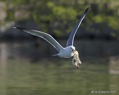 Gosling Snatched By Gull (pandatub) Tags: bird birds goose gosling gull lakeshorepark predation