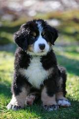Dutch formerly Clipper 11 weeks old (t.atkian) Tags: bernesemountaindog bernesemountaindogpuppies puppy