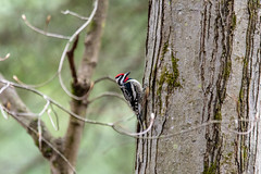 mttom2019-60 (gtxjimmy) Tags: nikond7500 nikon d7500 massachusetts newengland mttom holyoke spring woodpecker yellowbelliedsapsucker