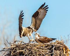 Osprey returning to nest with half-eaten fish (dwb838) Tags: fish 8x10 nest osprey