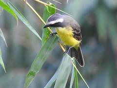 Fauna: Social Flycatcher (yago1.com) Tags: fauna permatree birds nature conservation ecuador zamorachinchipe aves