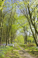 Blue under blue (Sundornvic) Tags: bluebells woods trees forest plants nature blue light sun shine pentax k70 art pentaxart spring flowers blooms blossoms countryside shropshire england