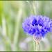 Spring Blue Factor