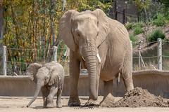 Ndula and Zuli (ToddLahman) Tags: ndula zuli umzulazuli africanelephant escondido eyelock elephants elephantvalley elephant elephantbaby beautiful outdoors mammal portrait familyportrait sandiegozoosafaripark safaripark
