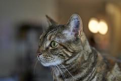 AF animal eye test - lab cat (tdawry) Tags: feliscatus feline fullframe cat tabby eye lab animal labratoryanimal rescue