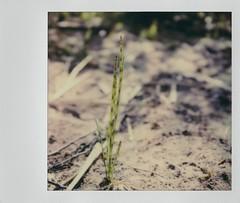 Horsetail, sprouting (EllenJo) Tags: polaroid instantfilm 2019 ellenjo sx70 april2019 tuzirap tuzigootriveraccesspoint clarkdalearizona clarkdaleaz verdevalley verderiver riparian horsetail plant segmented green arizona sprout