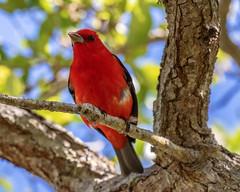 Scarlet Tanager (dbadair) Tags: outdoor ft desoto nature wildlife 7dm2 ef100400mm canon florida bird drop