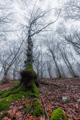 In the woods (Massimo_Discepoli) Tags: tree moss wideangle mist moody haunting creepy fall leaves