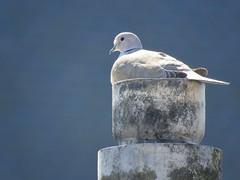 dove (gerben more) Tags: dove chimney bird animal netherlands nederland