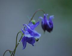 Ancolie des bois (danielled61) Tags: blue fleur flower bois bouton bleue délicate rafinée macro printemps nature