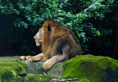 Is That a Wig? (Steve Taylor (Photography)) Tags: animal brown green calm rock stone asia singapore plant bush moss zoo resting lion