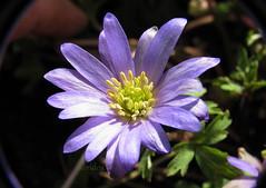 Anemone (abrideu) Tags: abrideu canon flower macro bright bokeh raynoxdcr250 anemone plant onmybalcony outdoor ngc