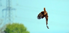 Marsh Harrier J78A0105 (M0JRA) Tags: rspb blacktoft sands birds flying people ponds lakes trees walks marsh harrier