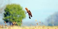 Marsh Harrier J78A0107 (M0JRA) Tags: rspb blacktoft sands birds flying people ponds lakes trees walks marsh harrier