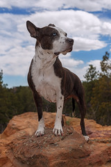 Cleo (Cruzin Canines Photography) Tags: animal animals canon canoneos5ds canon5ds canine 5ds eos5ds cleo cleopitra portrait outdoors outside nature naturallight naturepreserve gardenofthegods colorado coloradosprings pitbull pit pitbullterrier terrier americanpitbullterrier