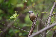 Nuthatch (1) (eugene-r) Tags: canon canoneos70d canonefs55250mmf456isstm bird nature