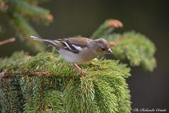 Fringuello _009 (Rolando CRINITI) Tags: fringuello uccelli uccello birds ornitologia avifauna montebaldo natura
