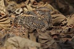Standard-winged Nightjar (steve whiteley) Tags: bird birdphotography nature wildlife wildlifephotography thegambia standardwingednightjar macrodipteryxlongipennis nighjar camouflage