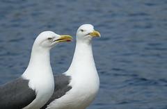 Lesser back blacked gulls (hedgehoggarden1) Tags: lesserblackbackedgulls gulls birds wildlife nature sonycybershot rspb creatures animals whitlinghamcountrypark norfolk eastanglia uk bird sony